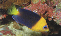 Image of Centropyge joculator (Yellowhead angelfish)