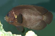 Image of Centropyge nox (Midnight angelfish)