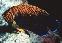 Image of Centropyge potteri (Russet angelfish)
