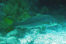 Image of Centropomus unionensis (Union snook)