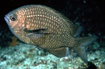Image of Chromis albomaculata (White-spotted chromis)
