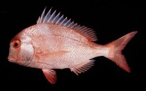 Image of Chrysoblephus anglicus (Englishman seabream)