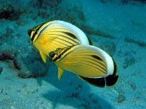 Image of Chaetodon austriacus (Blacktail butterflyfish)