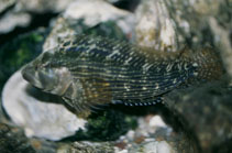 Image of Chasmodes bosquianus (Striped blenny)
