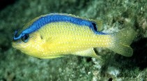 Image of Chrysiptera brownriggii (Surge damselfish)
