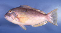 Image of Choerodon cauteroma (Bluespotted tuskfish)