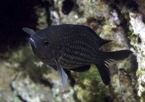 Image of Chromis chromis (Damselfish)