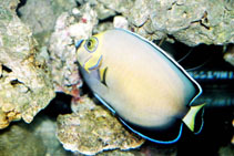 Image of Chaetodontoplus conspicillatus (Conspicuous angelfish)