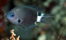 Image of Chromis delta (Deep reef chromis)