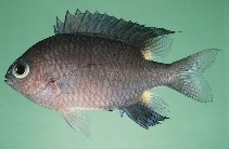Image of Chromis elerae (Twinspot chromis)