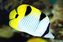 Image of Chaetodon falcula (Blackwedged butterflyfish)