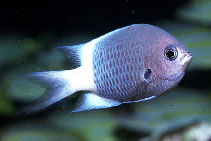 Image of Chromis fatuhivae