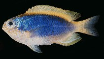 Image of Chrysiptera flavipinnis (Yellowfin damselfish)