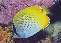 Image of Chaetodon guentheri (Crochet butterflyfish)