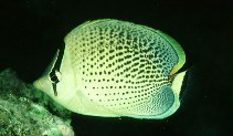 Image of Chaetodon guttatissimus (Peppered butterflyfish)
