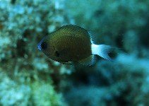 Image of Chromis hanui (Chocolate-dip Chromis)