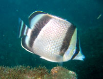 Image of Chaetodon humeralis (Threebanded butterflyfish)
