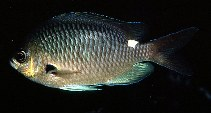 Image of Chromis hypsilepis (Brown puller)
