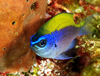 Image of Chromis insolata (Sunshinefish)