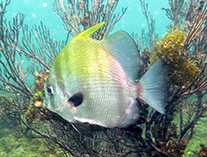 Image of Chaetodipterus lippei (West African spadefish)