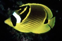 Image of Chaetodon lunula (Raccoon butterflyfish)