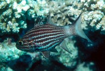 Image of Cheilodipterus macrodon (Large toothed cardinalfish)