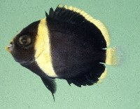 Image of Chaetodontoplus melanosoma (Black-velvet angelfish)
