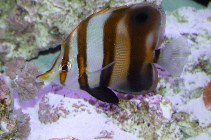 Image of Chelmon muelleri (Blackfin coralfish)