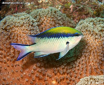 Image of Chromis nitida (Barrier reef chromis)