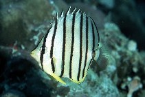 Image of Chaetodon octofasciatus (Eightband butterflyfish)