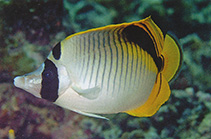 Image of Chaetodon oxycephalus (Spot-nape butterflyfish)