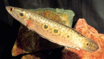 Image of Channa pleurophthalma
