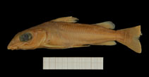 Image of Chrysichthys polli