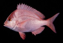 Image of Chrysoblephus puniceus (Slinger seabream)