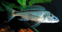 Image of Champsochromis spilorhynchus