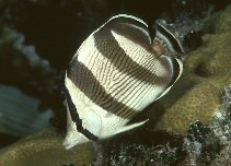 Image of Chaetodon striatus (Banded butterflyfish)