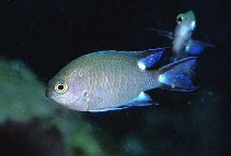 Image of Chromis trialpha (Trispot chromis)