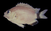 Image of Chromis woodsi (Wood\