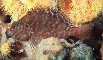 Image of Cirrhitichthys aprinus (Spotted hawkfish)