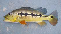 Image of Cichla intermedia