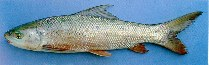Image of Cirrhinus microlepis (Small scale mud carp)