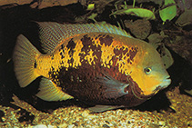 Image of Cincelichthys pearsei (Pantano cichlid)
