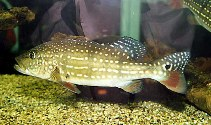 Image of Cichla temensis (Speckled pavon)