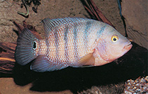 Image of Cichlasoma urophthalmum (Mexican mojarra)