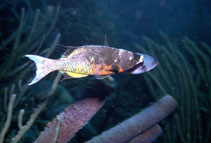 Image of Clepticus parrae (Creole wrasse)