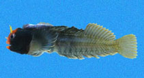 Image of Coralliozetus angelicus (Angel blenny)
