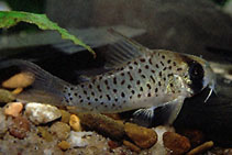 Image of Corydoras atropersonatus