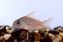 Image of Corydoras concolor