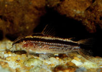 Image of Corydoras gracilis