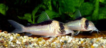 Image of Corydoras imitator